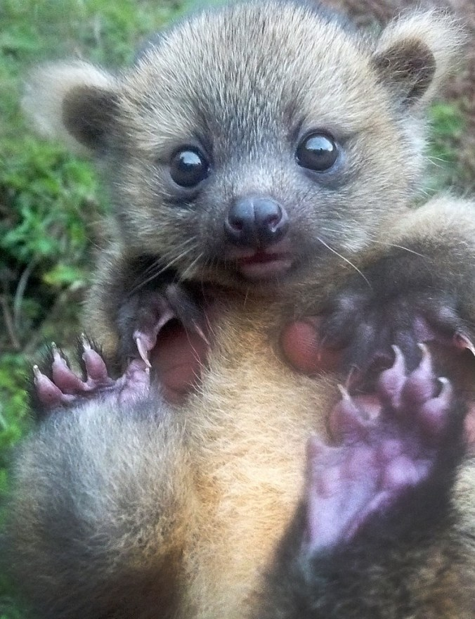 THE baby Olinguito; the new species of mammal first described in 2013.